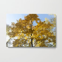 yellowed maple trees in autumn Metal Print