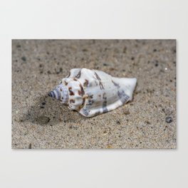 spotted sea snail shell Canvas Print