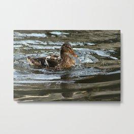 Mallard Duck Swimming Metal Print