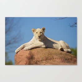 White Lioness Cub Canvas Print