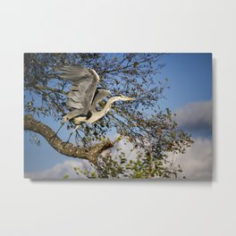 Grey Heron taking flight Metal Print