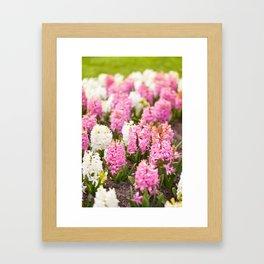 Hyacinthus pink white flowering Framed Art Print