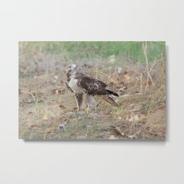 Ferruginous Hawk; 1st year, light juvenile. (Image No.1) Metal Print