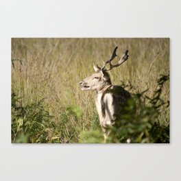 Rutting  Canvas Print