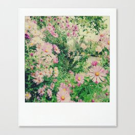 pink lovely asters Canvas Print