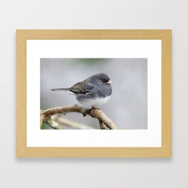 Fluffy Cassiar Dark-Eyed Junco on the Pear Tree Framed Art Print