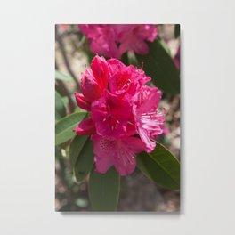 Pink Azalea Blossom Metal Print