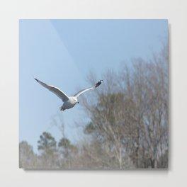 Ring billed gull Metal Print