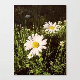 Daisies. Canvas Print