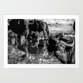 Bufalo Art Print