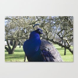 Peacock in the Morning Light Canvas Print