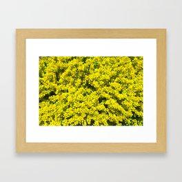 Yellow flowering Shrubs Golden Template Woadwaxen Framed Art Print