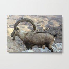 Nubian Ibex Metal Print
