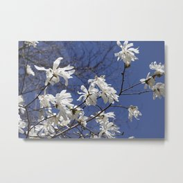 Star filled sky (Star Magnolia flowers!)      Edit Metal Print