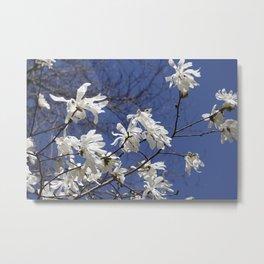 Star filled sky (Star Magnolia flowers!)      Edit Metal Print