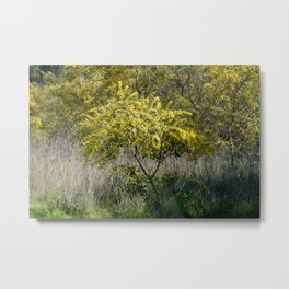 Flowering Acacia Tree Metal Print