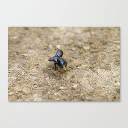 Beetle just about to fly away Canvas Print