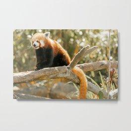 Red Panda Metal Print