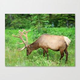 Elk Grazing  Canvas Print