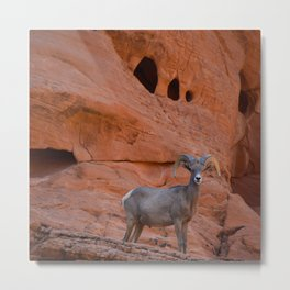 Desert Bighorn - Valley of Fire Metal Print