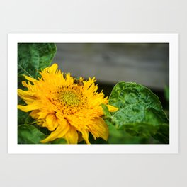 Beautiful Sunflower with an insect Art Print