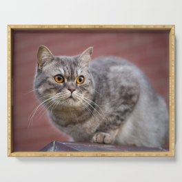 British shorthair cat on the wall Serving Tray