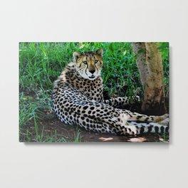 Image  of a Cheetah Metal Print