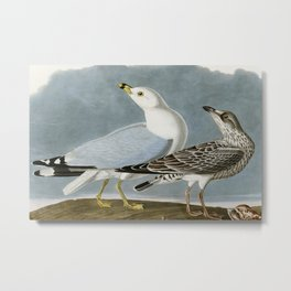 Vintage Seagull Illustration - Audubon Metal Print