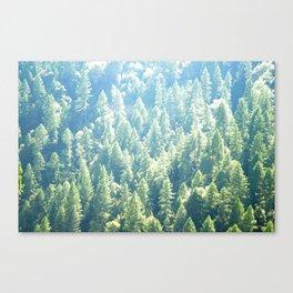 California trees Canvas Print