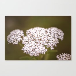 Yarrow Canvas Print