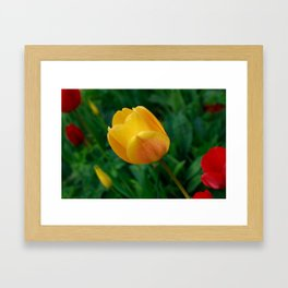Close-up Of Bright Yellow Tulip Framed Art Print