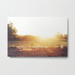 Pig Dust Metal Print