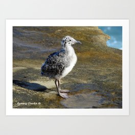 Ring-billed Gull Chick Art Print