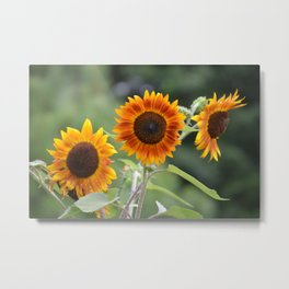 Mexican Sunflowers Metal Print