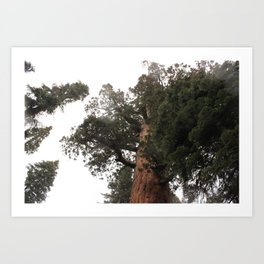 Looking Up to the Top of a Giant Sequoia Tree Art Print