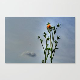 Compass Plant Canvas Print