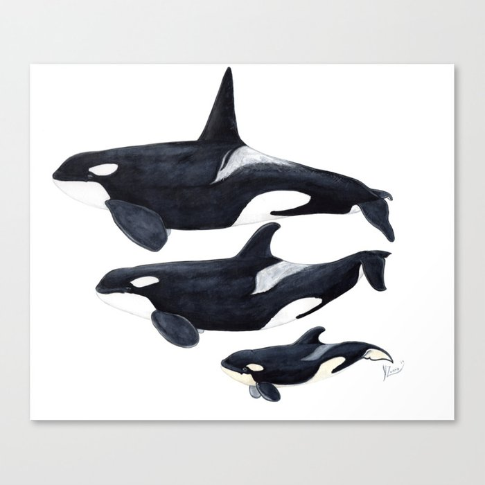 Orca (Orcinus orca) Canvas Print