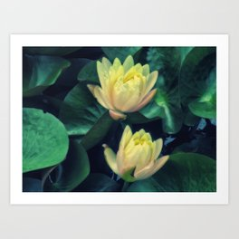 Yellow Lotus Flowers Art Print
