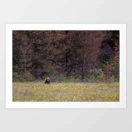 Canadian Grizzly Bear Art Print