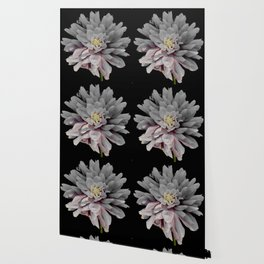 Grey Dahlia Bloom With Pink Wallpaper
