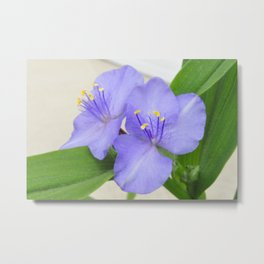 Spiderwort Metal Print