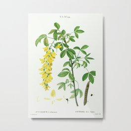 Common laburnum (Cytisus laburnum) from Traité des Arbres et Arbustes que l'on cultive en France en Metal Print