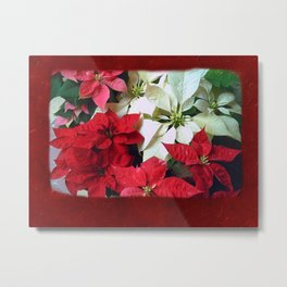 Mixed color Poinsettias 1 Blank P5F0 Metal Print