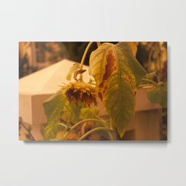 The Sun has Set and tomorrow, God willing, it will rise again [SUNFLOWER] [WILTING] [YELLOW SKY]  Metal Print