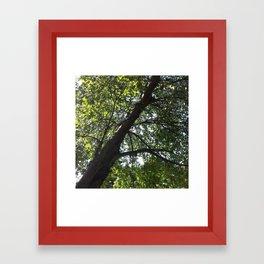 Pre-Autumn Maple Framed Art Print