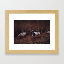 Goats in the wild, Groningen, Netherlands Framed Art Print