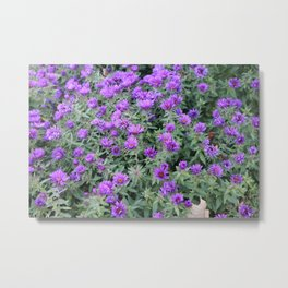 Midwest Strawflower Metal Print