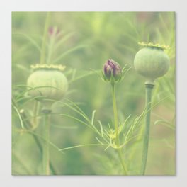 Poppy seed heads Canvas Print