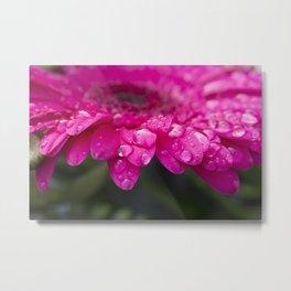 Macro of beautiful dark pink Gerbera flower in full bloom covered in water drops. Metal Print