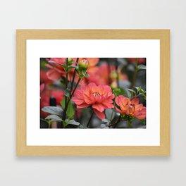 Salmon Colored Dahlias Framed Art Print